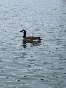 LisaOnTheGo Show Goose